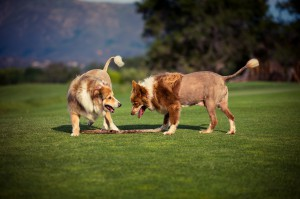 Journey at Pechanga Golf Dogs Honey & Tessa
